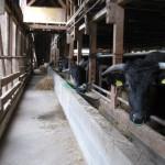 霜月終わりの牛舎